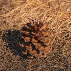 Pino canario pino de canarias semillas pino canario cono