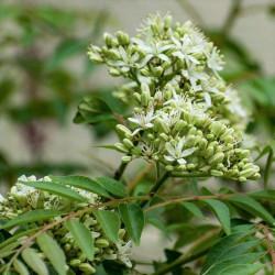 flores de murraya koenigii