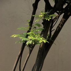 detalle de la planta de árbol de curry