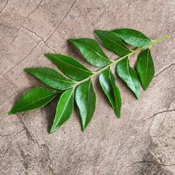 hojas del árbol del curry en semillas