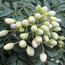 frutos con semillas de murraya koenigii