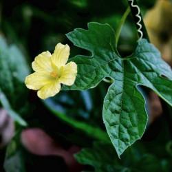 Momordica charantia flor