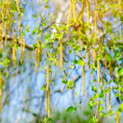 betula pendula abedul semillas arboles