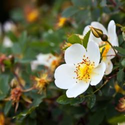 Escamujo rosa canina semillas flor blanca grande