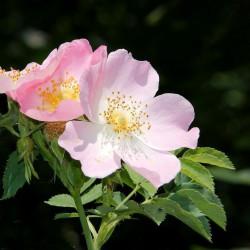 Escamujo rosa canina semillas flor rosa