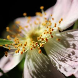 Escamujo rosa canina semillas rosa flor