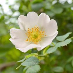 Escamujo rosa canina semillas flor blanca