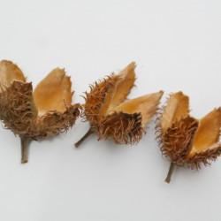 semillas de haya fagus sylvatica semillas arboles
