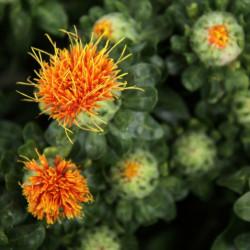 semillas cartamo safflower