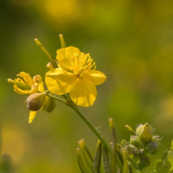Celidonia mayor comprar semillas de chelidonium majus