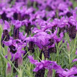 semillas cantueso lavandula stoechas semillas