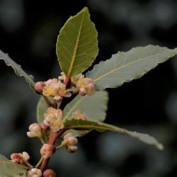 semillas de laurel flor