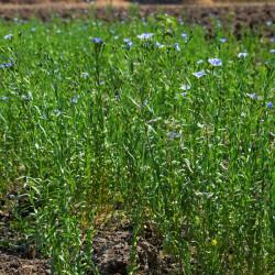 semillas lino planta linum