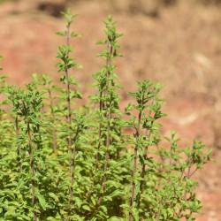 semillas mejorana comprar online