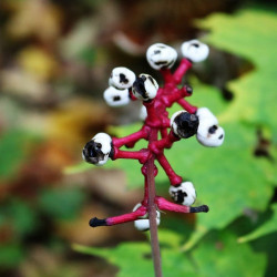 dolls eye semillas seeds doll's eye semillas actaea
