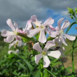 saponaria jabonera semillas
