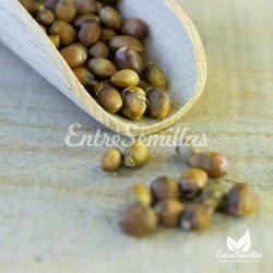 semillas de tejo