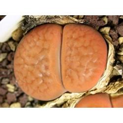 C118 - Lithops hookeri v. hookeri