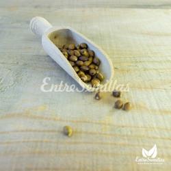 semillas taxus baccata online sembrar tejo