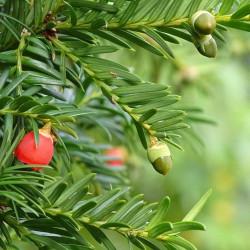 semillas de tejo arbol frutos rojos