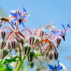 borraja flores azules semillas
