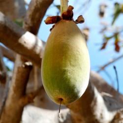 frutos de baobab con semillas