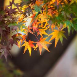 semillas de arce japonés acer palmatum