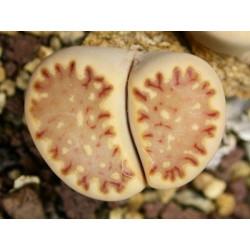 C121 - Lithops julii ssp. fulleri v. fulleri