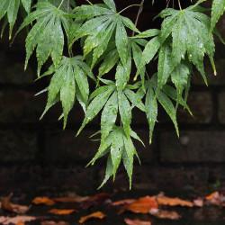 Acer palmatum Japonés - Sobre 20 semillas japanese maple seeds