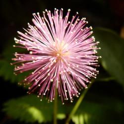 mimosa semillas nometoques sensitiva semillas mimosa pudica shameplant