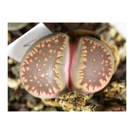 C231 - Lithops villetii ssp. deboeri
