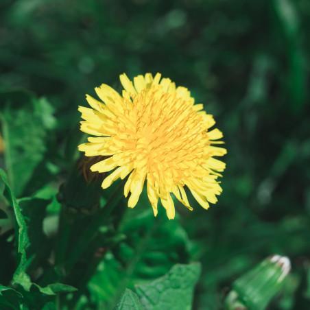 diente de león semillas taraxacum