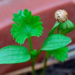 germinar semillas de cilantro