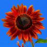 Girasol Velvet Queen - Sobre 20 semillas