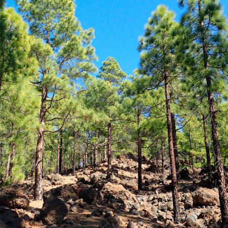 semillas de pino canario