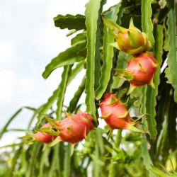 pitahaya flor fruta del dragón dragon fruit flower seeds pitaya semillas fruta
