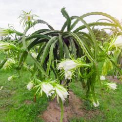 dragon fruit pitahaya seeds semillas de pitaya