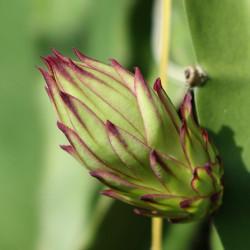 comprar semillas de pitahya