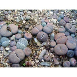 Lithops mixtos - Pack 1000 semillas
