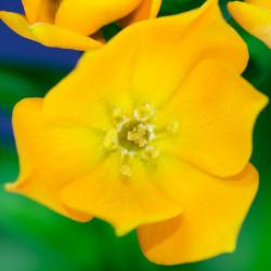 Ornithogalum dubium - Sobre 10 semillas comprar flores