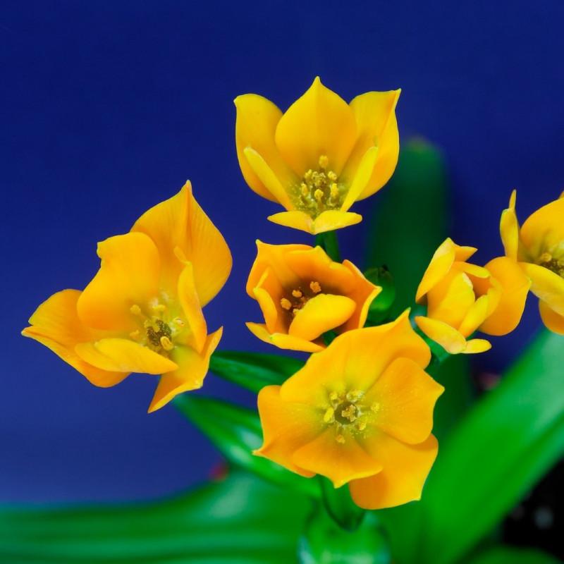 Ornithogalum dubium seeds semillas flores