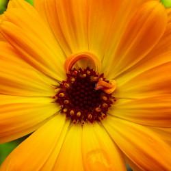 caléndula flor naranaja medicinal semillas calendula