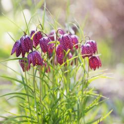 flor del ajedrez semillas