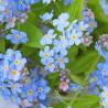 Nomeolvides 'Azul' - Sobre 100 semillas