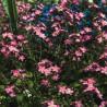 Nomeolvides 'Rosa' - Sobre 100 semillas