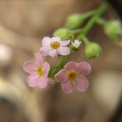 nomeolvides rosa semillas myosotis sembrar