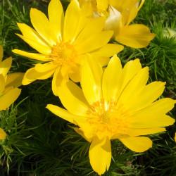 adonis vernalis flores amarilla desde semilla