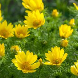 semillas de adonis vernalis