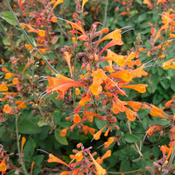 semillas de agastache aurantiaca