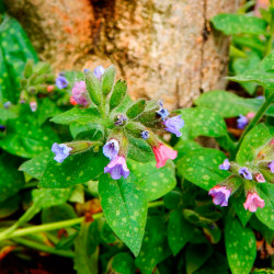 semillas de pulmonaria officinalis